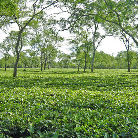 India tea fields