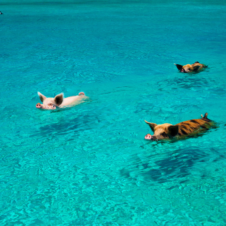 exuma - bahamas - pigs - travel feature - travel bag - handbag.com