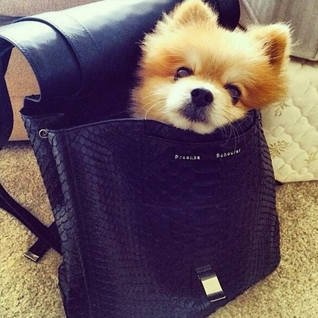 BooBoo the dog in a Proenza Schouler backpack